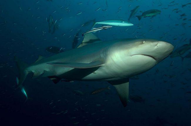 Shark-ox (Carcharhinus Leucas).