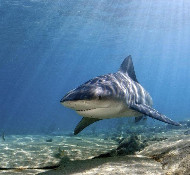 Bull shark - opasne stanovnike podmorja.