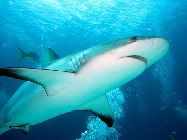 Bull shark nalazi u priobalnim vodama na dubinama do 152 m.