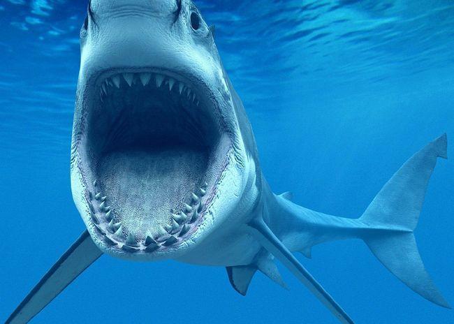 Bull shark ili bik ajkula