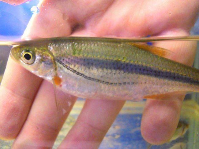 Ime ribe je zbog prednost nastanjuju brzim rijekama.