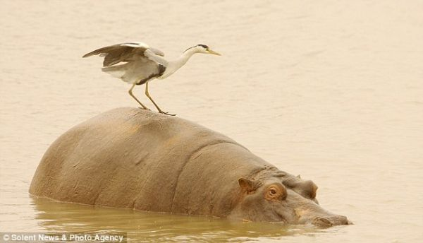 Heron lova bez demontaže s leđa nilskog konja