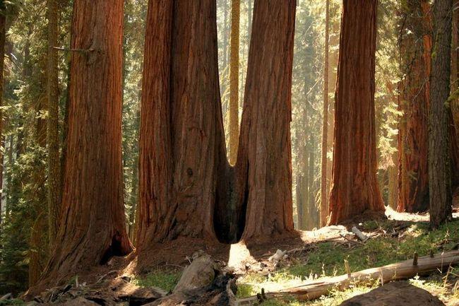 Cekvoyya - najviša stabla na svijetu