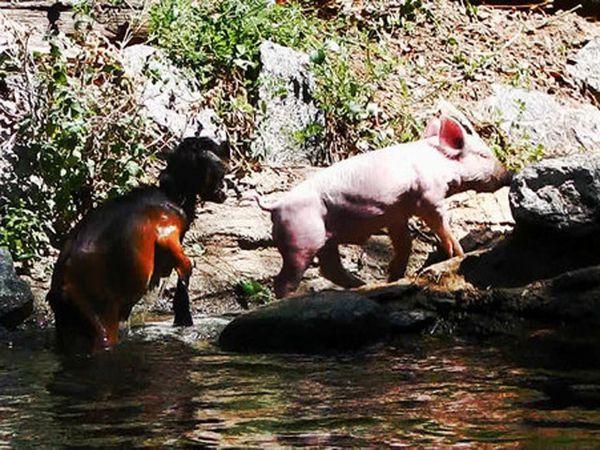 U Sjedinjenim Američkim Državama izloženi svinja-spasitelj video