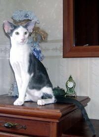 Oriental mačka pasmina cijenu