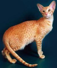 orijentalna mačka cijenu