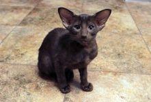 orijentalna mačka kupiti