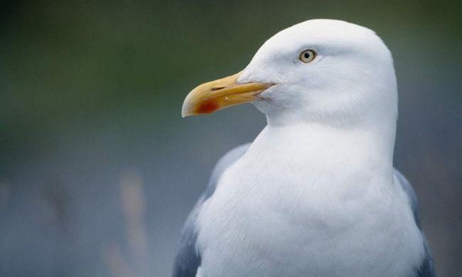 Seagull ples za hranu.