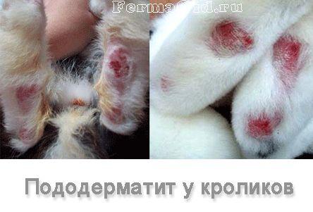 Подошвенный дерматит у кроликов