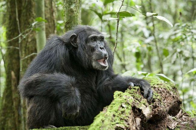 Prosjek čimpanza (Pan troglodytes).