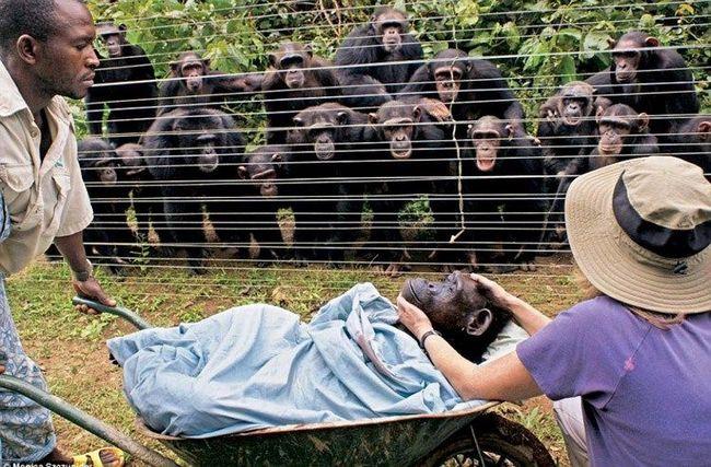 Grupa čimpanza Bonobo (Pan paniscus) s neskrivenim zabrinutost satovi Centar Chimp spasilaca izvaditi tijelo svog prijatelja - 40-godišnja žena, Dorothy, koji je umro od srčanog udara.