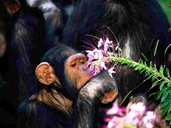 Čimpanze su u stanju da vare apstraktne koncepte, kao što je životinja pažljivo studira nejestivo cvijet.