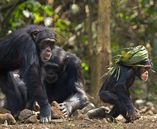 Mladunče čimpanze oblikovan turban uvrnutog lišća u pozadini odraslih pojedinac poremećenim, veštim kamenja.