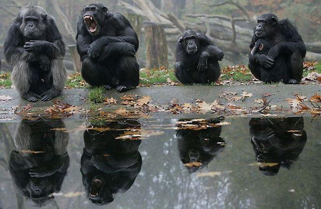 Muško čimpanze demonstrativno zeva, baring očnjake da pokaže svoju moć pred starijih muškaraca (lijevo). Životinje nižeg ranga (ženski sa mladunče na desnoj strani) pažljivo posmatraju ponašanje lidera.