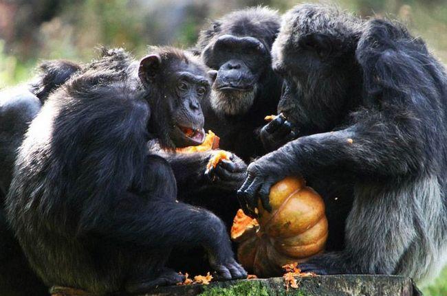 čimpanza grupa u zoološkom vrtu jede bundevu.
