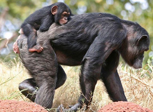 Odrasla mlade čimpanze su na leđima.