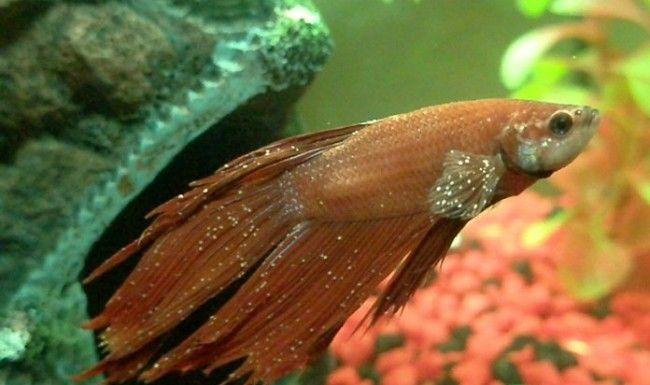 Bolesti akvarij riba.