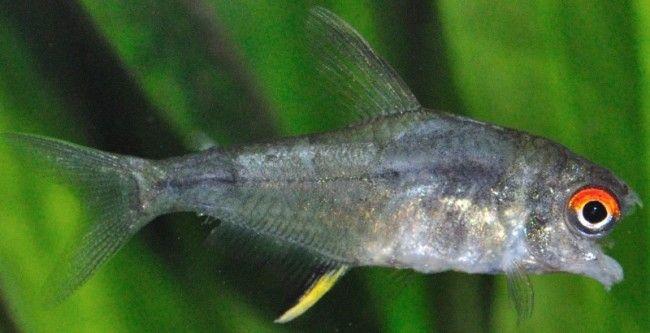 Bolest akvarij riba.