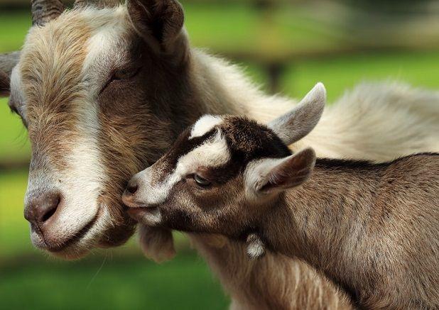 Чем кормить коз?