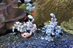 Чем кормить креветок в аквариуме