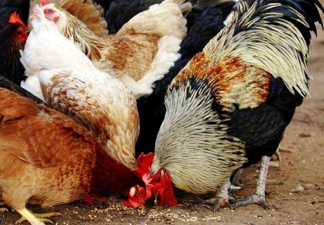Чем кормить кур несушек?