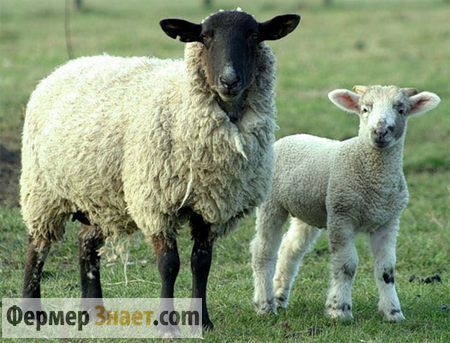 Брадзот у овец