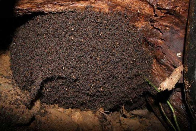 Večera mrav često postaju gusjenica, bube.