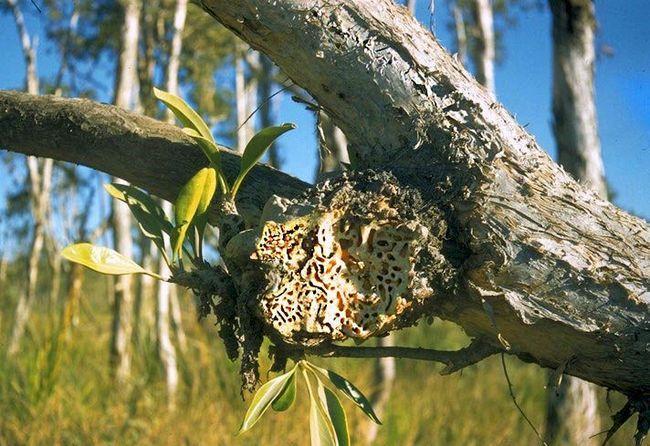 Neke vrste mrava koje se bave kanibalizam.