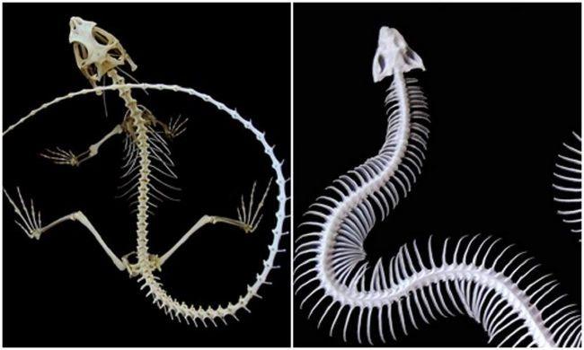 Skeleti zmija i guštera u osnovi razlikuju među sobom.