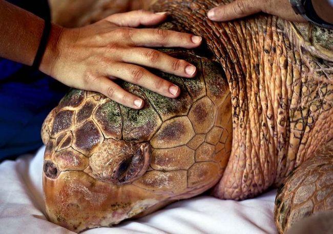 Kahuna Tortoise se vraća kući