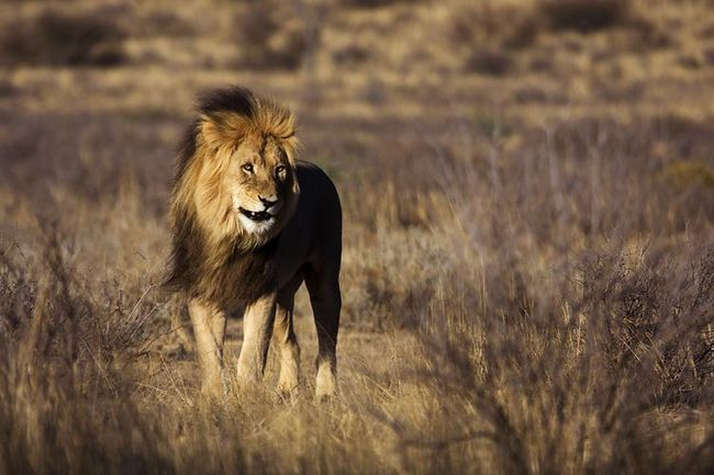 Kornjača je spašena iz lavova spyatavshis u ljusci