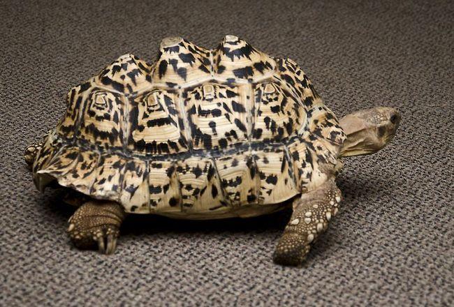 Kornjača štampani 3D-printer novi shell