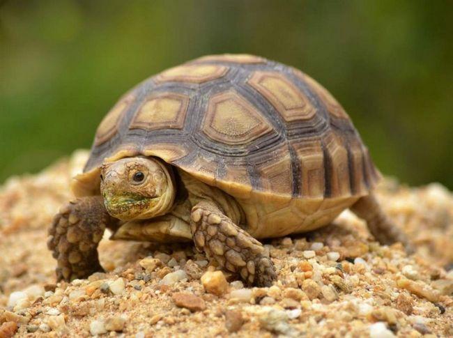 Подавляющее большинство видов черепах - травоядные.