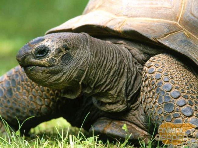 Гигантская черепаха альдабра - одна из крупнейших в мире
