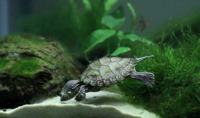 Kornjača u akvariju.