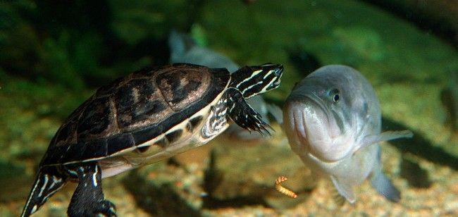 Kornjača akvarij s ribom.