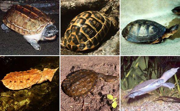 foto kornjača
