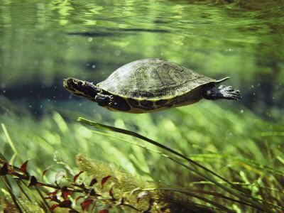 Slatkovodna kornjača fotografija