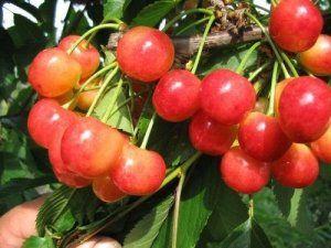 Плоды черешни «Брянская Розовая»