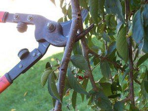 Осенью лучше обрезать сухие и больные ветки