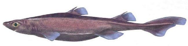 Черная собачья акула (Centroscyllium).