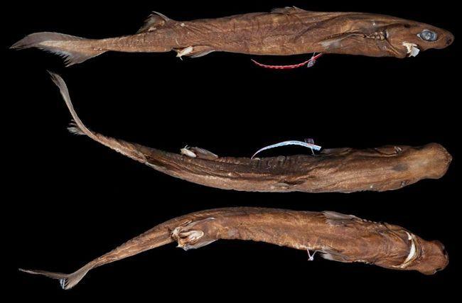 У основания спинных плавников черных собачьих акул есть выразительные шипы.
