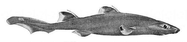 Считается, что в организме черных собачьих акула есть некоторое вещество, действующее как антибиотик.