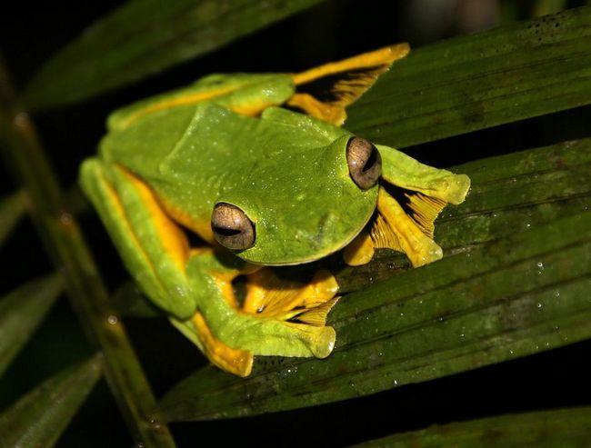 Wallace je Flying žaba (lat. Rhacophorus nigropalmatus)
