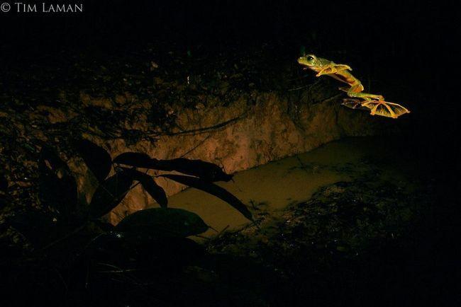 Чернолапый веслоног (лат. Rhacophorus nigropalmatus)