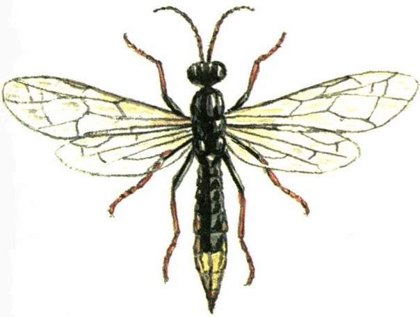Blackfoot harakopigus (Characopygus modestus).