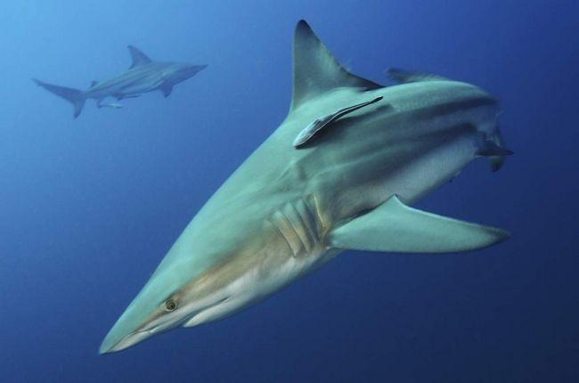 Черноперые акулы - скрытные хищники.