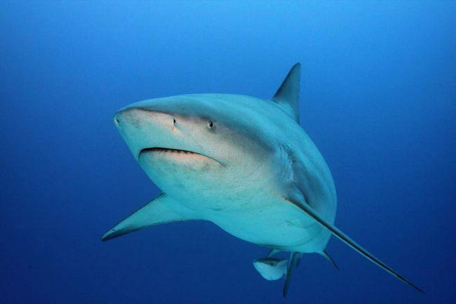 Самка черноперой акулы с детенышем.