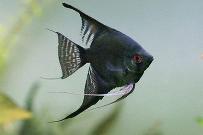Black velvet angelfish.