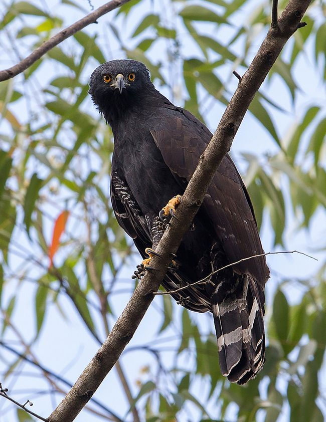 Орел тирана (Spizaetus tyrannys) или черный ястреб